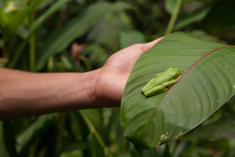 Costa Rica - January 2019 Green Color Hand Human Hand Human Body Part One Person Leaf Plant Part Focus On Foreground Close-up Plant Nature Real People Day Animal Wildlife Growth Unrecognizable Person Holding One Animal Outdoors Finger Tour Guide Wildlife Tourism Finding Frog Red Eyed Tree Frog Tree Frog Costa Rica Ecotourism