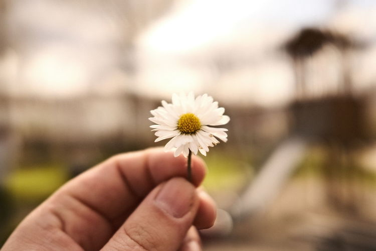 Close-up of hand holding daisy flower