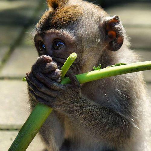 Monkey Cute SpeakNoEvil Forest INDONESIA Primal
