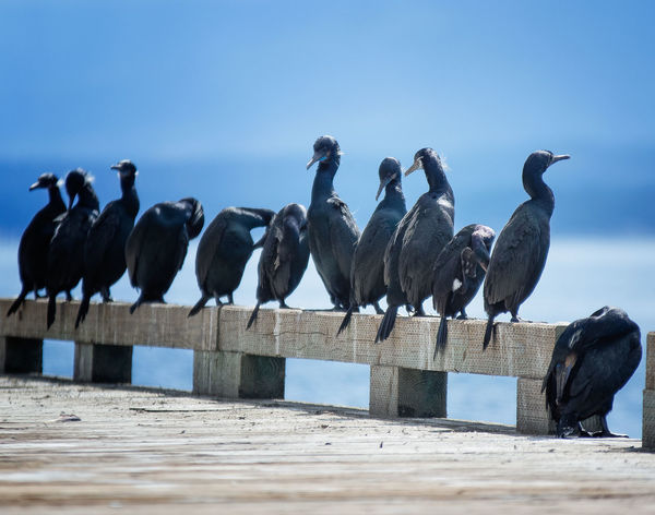 Animal Themes Animal Wildlife Animals In The Wild Beauty In Nature Bird Clear Sky Cormorants Day Large Group Of Animals Mammal Nature No People Outdoors Perching Sky Sunlight Water