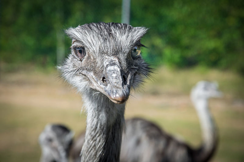 Animal Themes Animal Wildlife Animals In The Wild Bigeyes Bird Close-up Day Eye4photography  EyeEm Best Shots EyeEm Nature Lover Focus On Foreground Looking At Camera Nandu Nature No People One Animal Ostrich Outdoors Portrait Safari