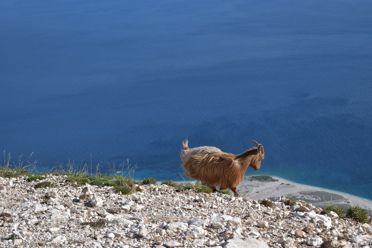 Goat standing on land by sea