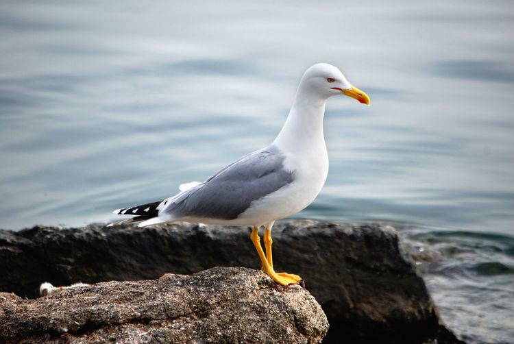 Seagull Water Rock Bird Rock - Object Nature Sea Close-up Focus On Foreground Animal Themes Animal