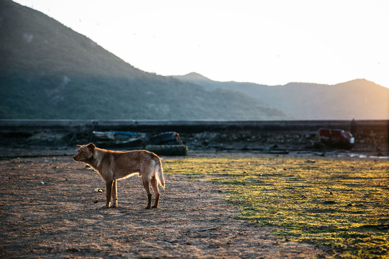 Dog Standing On Grass Against Mountain Landscape