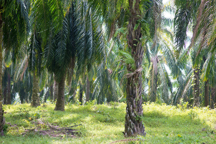 Palm Tree Oil Palm Oil Palm Leaf Oil Palm Plantations Oil Palm Tree Oil Palm Trees Palm Oil Palm Oil Farm Palm Oil Industry Palm Oil Plantation Palm Oil Tree