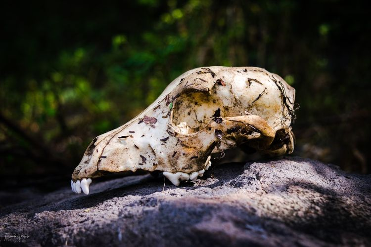 Close-up of animal skull on rock