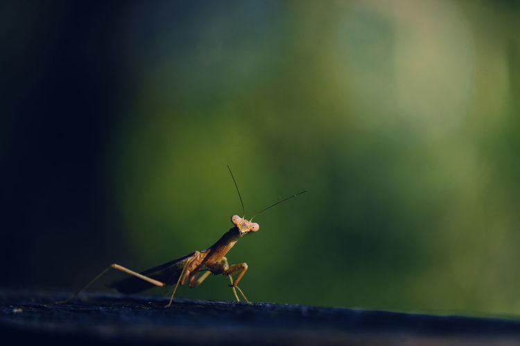 Close-up of praying mantis on surface