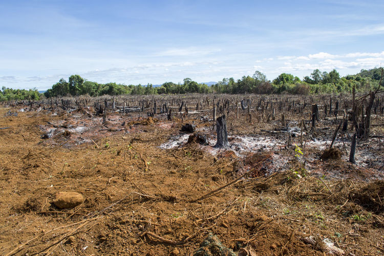 Cut trees and burnt down forest for agriculture, slash and burn as seen in the amazon brazil
