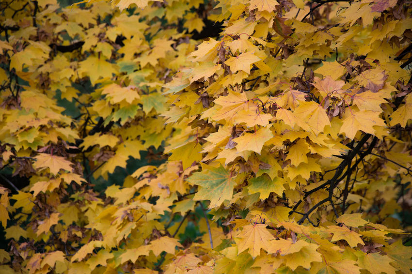 Autumn Autumn Autumn Colors Backgrounds Beauty In Nature Change Close-up Czech Republic Day Fragility Full Frame Grebovka Havlickovy Sady Leaf Leaves Maple Leaf Nature No People Outdoors Park Prague Scenics Tranquility Tree Yellow