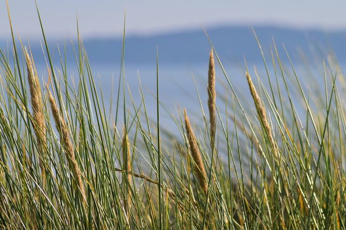 Grass Nature Growth Tranquil Scene Tranquility Outdoors Day No People Beauty In Nature Scenics Field Marram Grass Timothy Grass Plant Sky Wheat Close-up Seascape Coastline Dunes Summer Kernow Bestoftheday