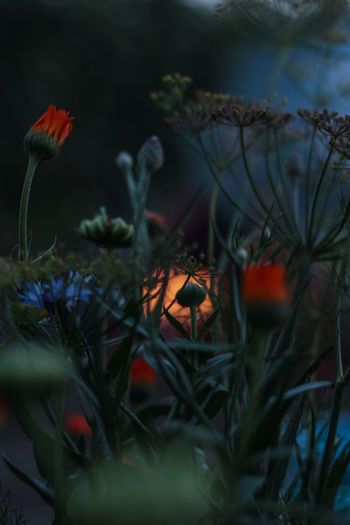 Fire and the flowers. Beauty In Nature Blooming Botany Close-up Dark Fine Art Photography Fire Flower Flower Head Night Plant Red Selective Focus