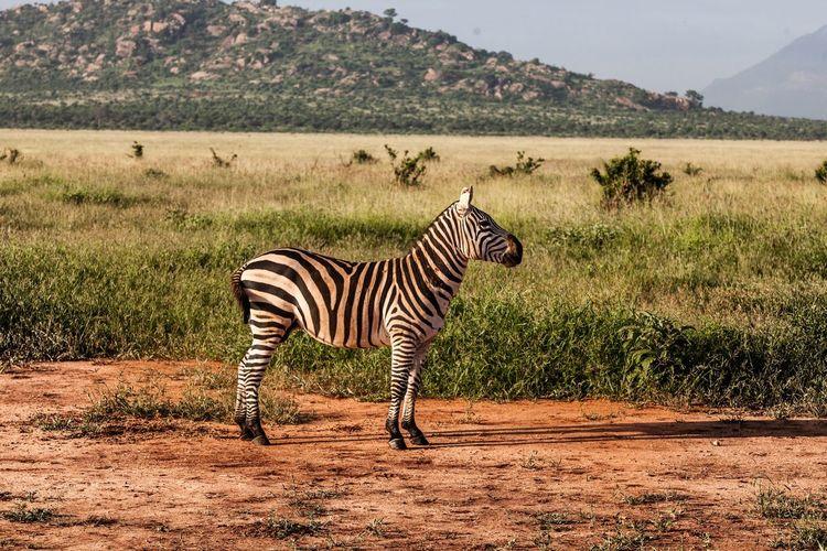 Zebra Africa Tsavo Kenya