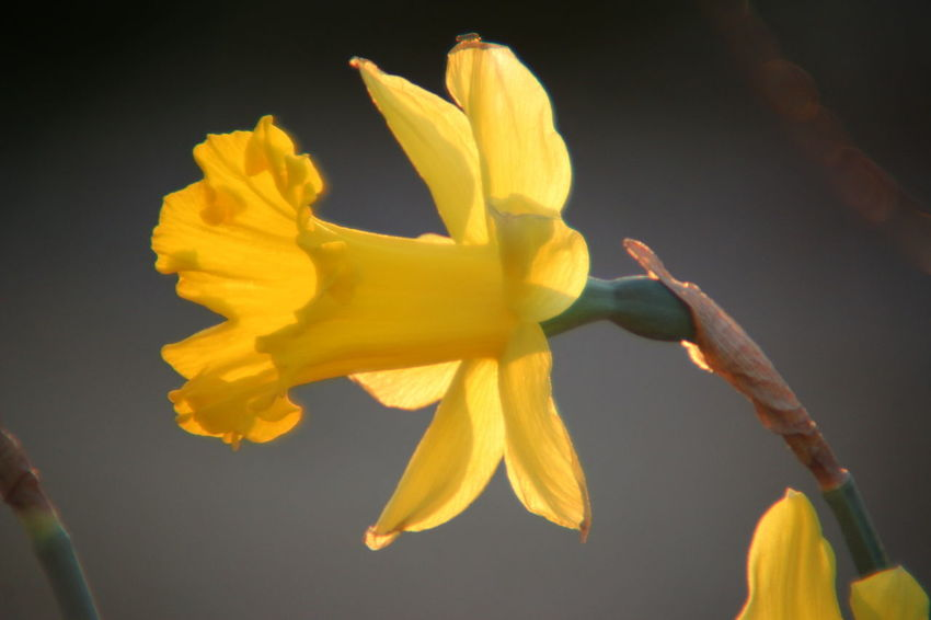 Yellow Freshness Black Background Close-up No People Flower Head Day Still Life Daffodils Nature Macro