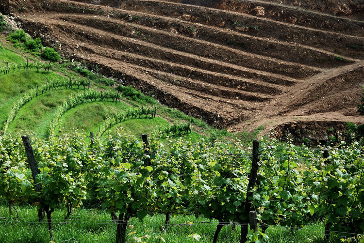Agriculture Beauty Beauty In Nature Countryside Day Farm Field French Vineyard French Wine Fruit Grapes Green Green Color Growth Irouleguy Land Landscape Nature No People Outdoors Pyrenees Rural Scene Terraced Field Vineyard Wine