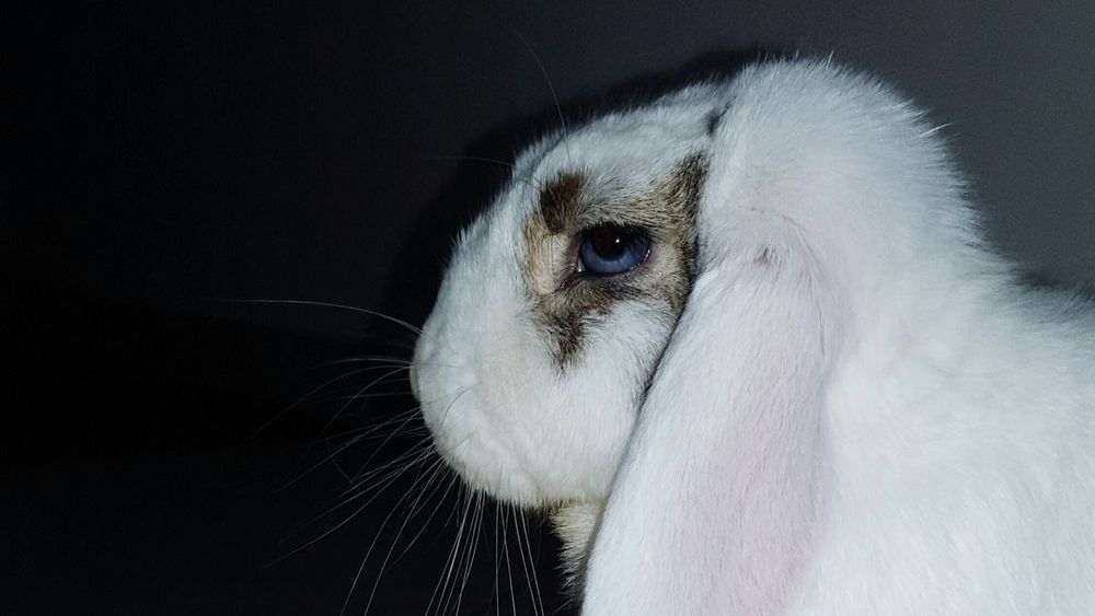 Sguardi Intensi Sguardoprofondo Blue Blue Eyes Animals Rabbit Rabbit ❤️ Love
