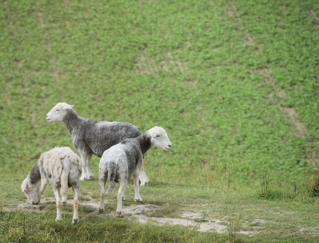 Mammal Animal Themes Grass Two Animals Field Domestic Animals Nature No People Day Sheep Outdoors Young Animal Green Color Livestock Lamb Togetherness Beauty In Nature Livestock Raggedy Sheep Raggedy Wiltshire Farmland Wiltshire Countryside
