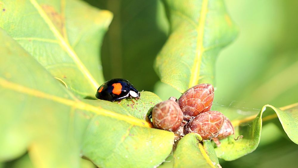 Ladybug EyeEm Selects Insect Invertebrate Animal Themes Animal Wildlife Animal Animals In The Wild Macro One Animal Plant Part Close-up Leaf Nature Beauty In Nature Plant No People Day Outdoors