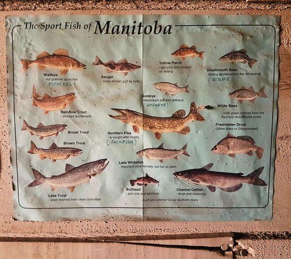 Sportfish of manitoba