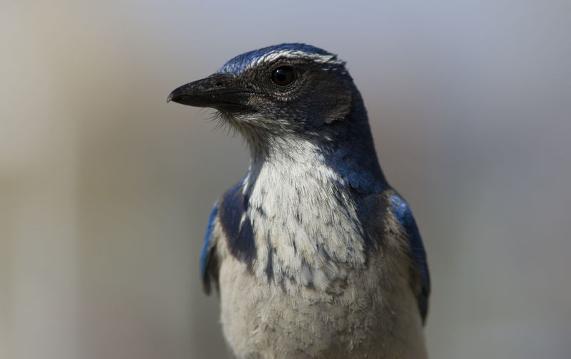 Close-up Of Scrub Jay