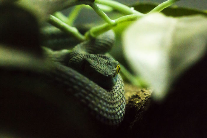Snake Eyes Animal Animal Body Part Animal Scale Animal Themes Animal Wildlife Animals In The Wild Close-up Day Green Color Growth Leaf Nature No People One Animal Outdoors Plant Plant Part Reptile Selective Focus Snake Snake Eyes Snake Eyes.  Vertebrate