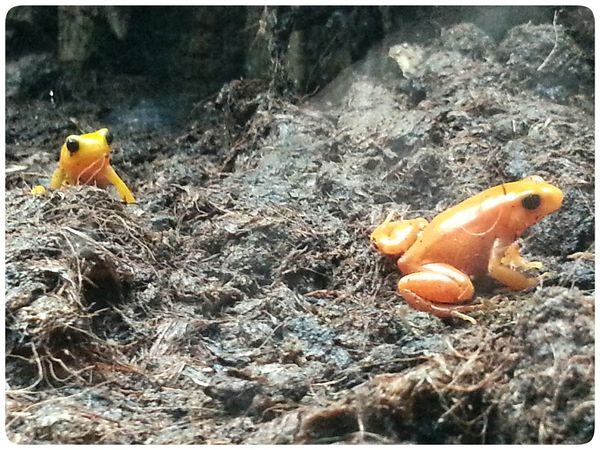 Little frogs at Acquario Di Genova Amphibian No People Slug Fragility Thriugh The Windows Smartphone Photography Note2 Animal Themes Yellow Orange
