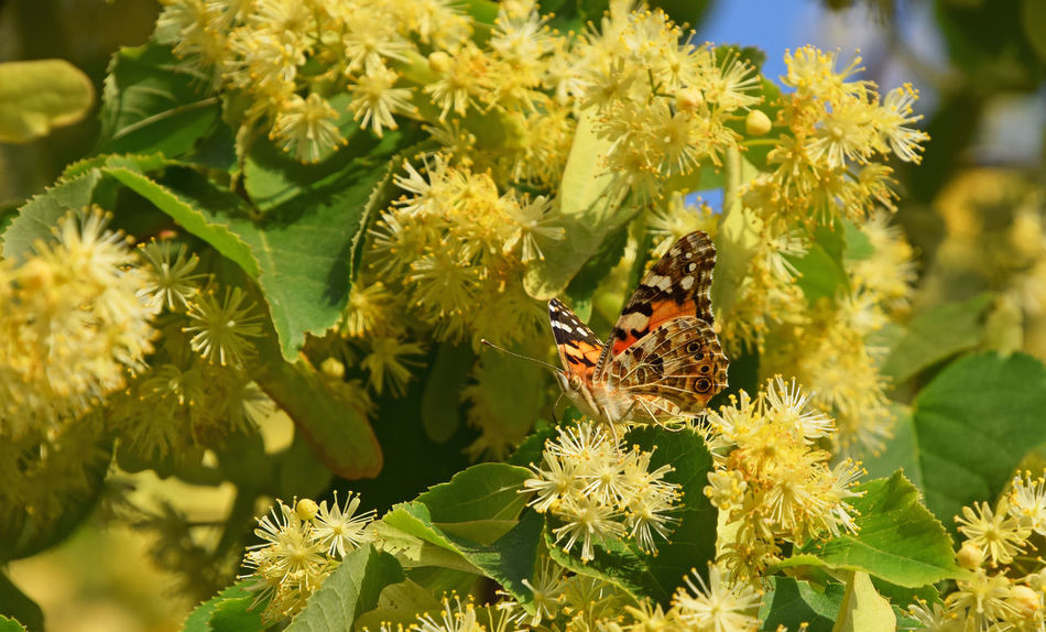 Colorful butterfly pollinating on linden tree blossoms Bloom Blooming Blossom Butterfly Close Up Close-up Flowers Honey Insect Insects  Lime Lime Tree Linden Linden Tree Moth Nature Pollination Season  Summer Summertime Wildlife Yellow A Bird's Eye View