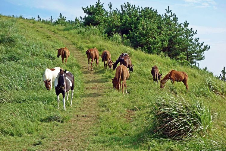 horses feeding on grasses at a Yongnuni oreum volcanic cone,jeju island,korea,asia Animal ASIA Blue Cloud Cone Feed  Field Grass Green Hill Horses Island Jeju Korea Nature Oreum Sky Travel Tree Trip View Volcanic  White Wind Yongnuni