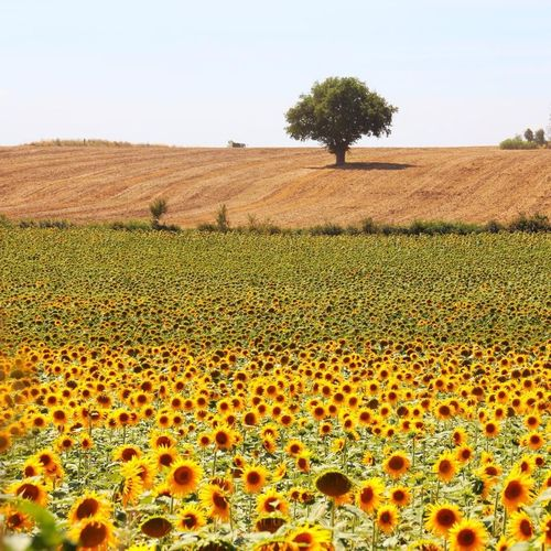 Landscape Trees Flowers Flowerpower Enjoying The Sun Sunflower