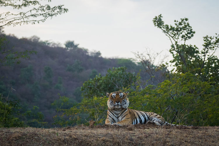 Portrait of tiger sitting on field against clear sky