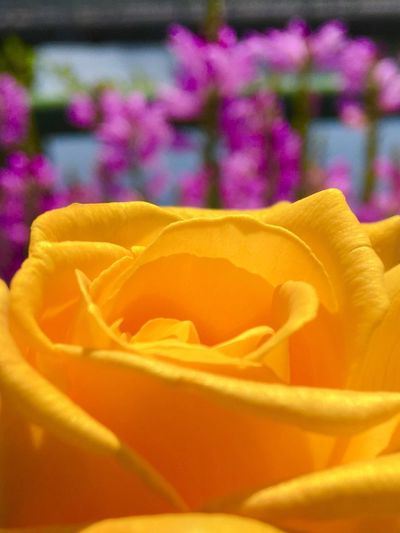 Flower Roses Petal Beauty In Nature Yellow Selective Focus Nature Vibrant Color Blossom In Bloom First Eyeem Photo