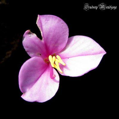 Rsa_flower Treasures_and_nature Tr_colors Unique_india ir_flowers ip_blossoms ip_connect ic_nature ig_flowers 123pinks ptk_minimal ptk_flower petal_perfection phototag_macro ptk_macro phototag_nature
