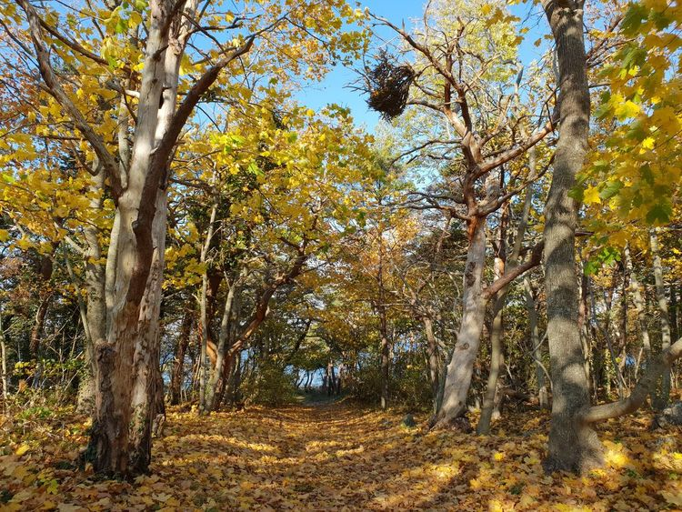 Gotland Sweden Autumn Autumn colors Tree Branch Forest Tree Trunk WoodLand Sky Fall Leaves Maple Leaf Leaf Maple Tree