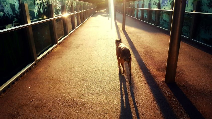 Shadow Sunlight Real People Lifestyles Outdoors One Person Full Length Domestic AnimalsNo People Day People Adult Pets City Pet Photography  Dogslife Mammal Dog Animal Urban Animals Streetphotography Pet Portraits Pet Dogs EyeEmNewHere See The Light