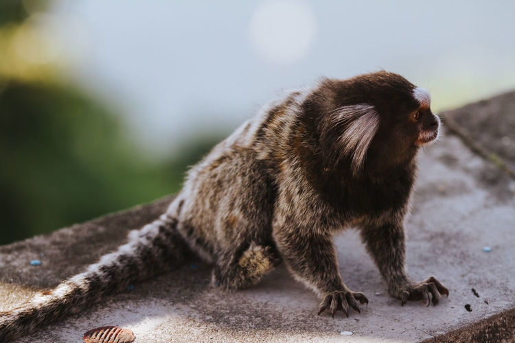Marmoset Relaxing On Retaining Wall