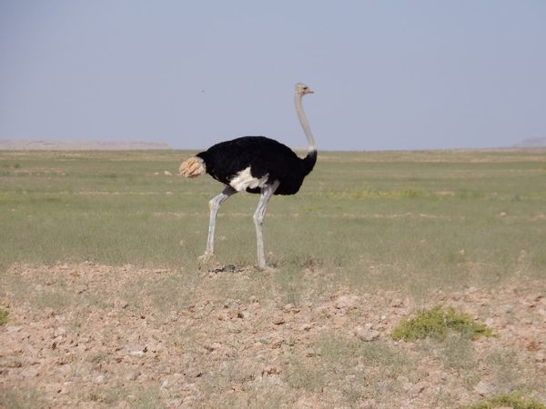 Bird Animals In The Wild Animal Wildlife Outdoors Day Nature No People Grass Sky Animals In The Wild Beauty In Nature Desert Ostrich