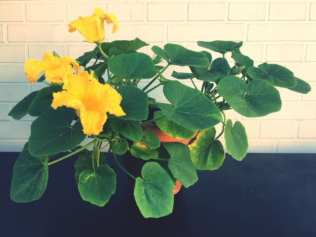 Pumpkin Healthy Food Flower Leaf Plant Plant Part Flowering Plant Vulnerability  Growth Nature Fragility Beauty In Nature Yellow Petal Freshness Green Color Wall - Building Feature Potted Plant Close-up