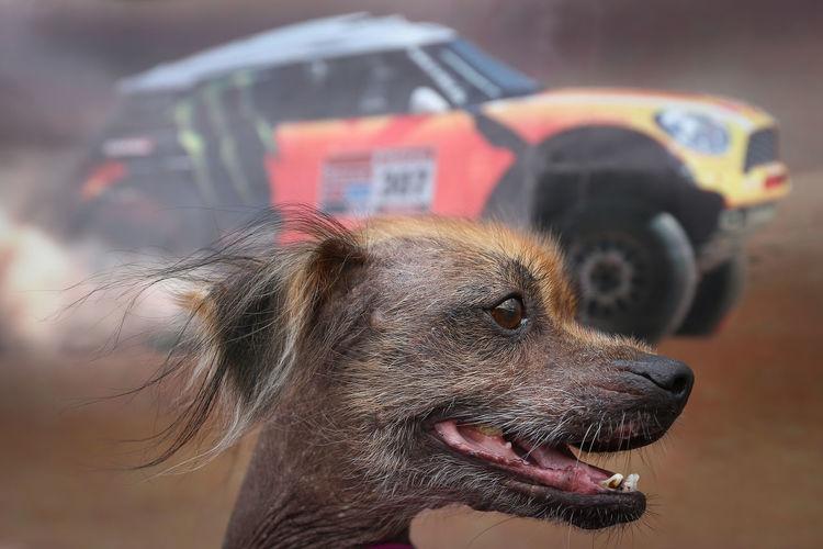 a cute dog and background a car Dakar in salta argentina Animal Animal Themes Argentina Car Competencia Curiosity Dakar Dog Domestic Animals Nice One Animal Salta  Selective Focus Ugly