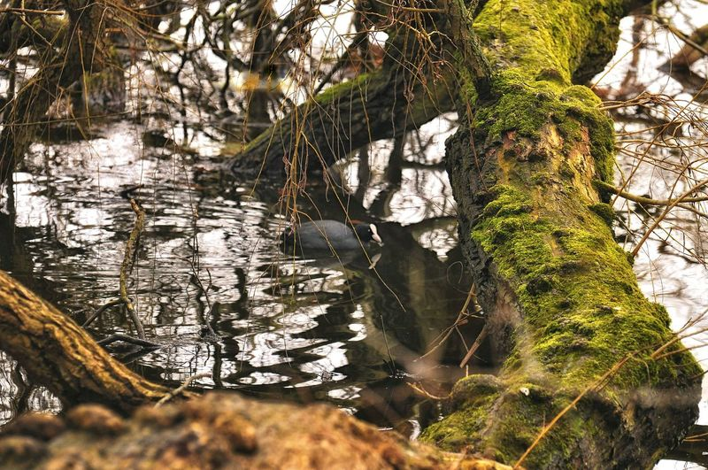 Somewhere. Nature_collection Nature Photography Eyem Best Shots Nature_collection EyeEm Best Shots EyeEm Selects EyeEm Nature Lover Coots In A Pond Coot Coots København Danmark Natur Eyem Gallery Mesmerizing Nature On Your Doorstep Leaf Branch Reflection Close-up Plant Pond
