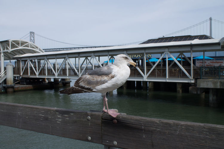 Seagull against san francisco bay bridge