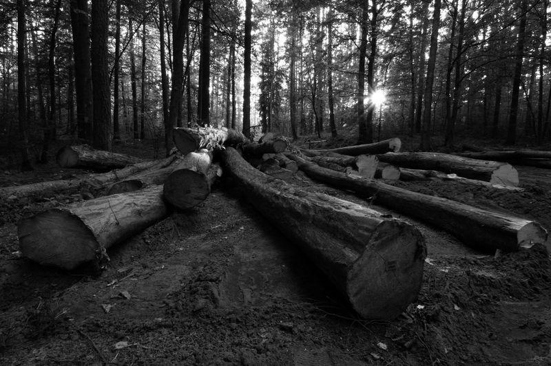 Black And White Forest Masuren Masuria Mazury Nature No People Outdoors Shadows Summer Sunset Trees Wide Shot