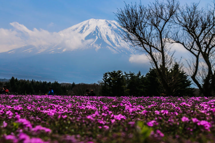 Fujizakura festival. Beauty In Nature Blooming Daily Project EyeEm Gallery Field Flower Head Flowers Fragility Freshness Fuji Growth Landscape Mountain Mt. Fuji Nature Outdoors Scenics Sky The Great Outdoors - 2017 EyeEm Awards Tranquil Scene Tranquility 富士山 Motosuko Fujizakura Perspectives On Nature