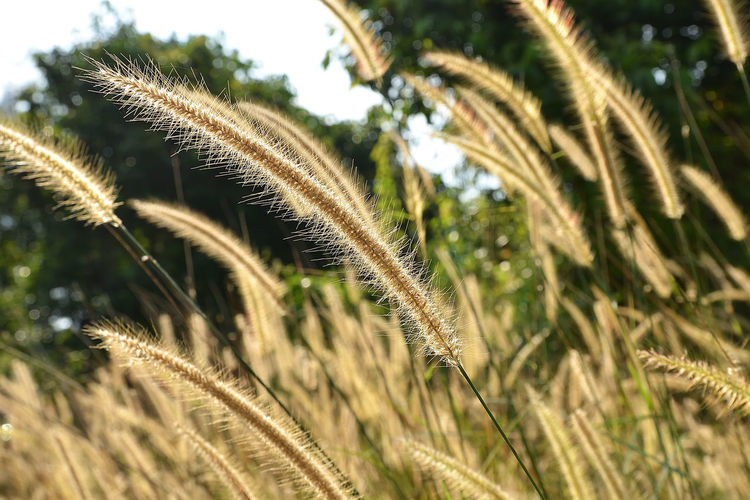 A close up view of beautiful cogon grass. Beauty In Nature Close-up Cogon Grass Day Focus On Foreground Grass Growth Nature No People Outdoors Plant