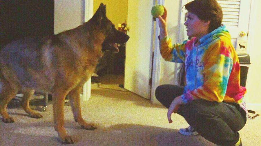 He really wanted that ball... German Shepherd Germanshepherd GSD Gsd Sable Sable Sablegermanshepard Ball Tennisball