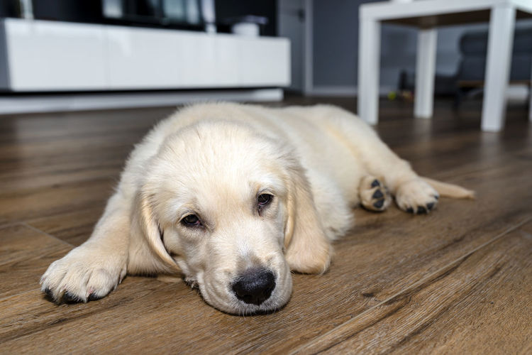 Portrait of dog lying on floor at home