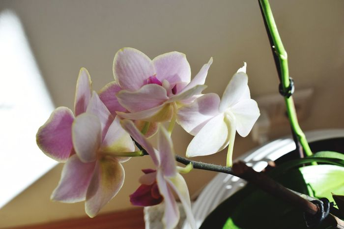 Flower Petal Orchid Fragility Flower Head Nature Close-up Plant Beauty In Nature Growth Pink Color No People Freshness Day Indoors  Orchidées Phalenopsis