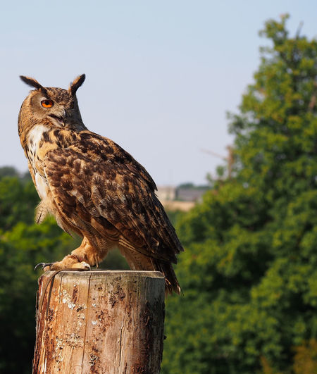 Side View Of Eurasian Eagle Owl Perching On Wooden Post