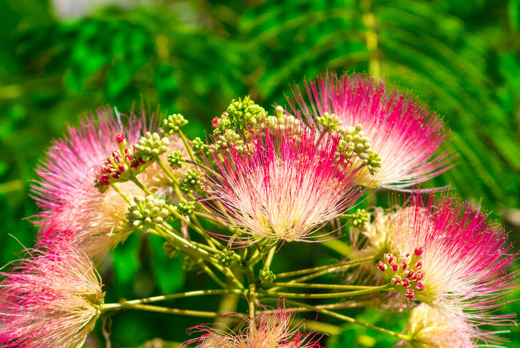 Albizia Albiziatree Beauty In Nature Close-up Day Eastern Purple Coneflower Flower Flower Head Focus On Foreground Fragility Freshness Growth Nature No People Outdoors Pink Color Plant Silk Flowers Silk Tree