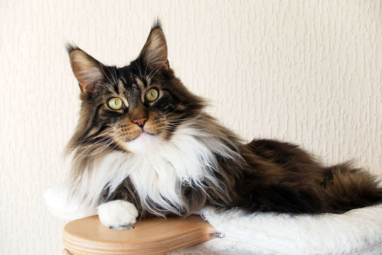 Beautiful Maine Coon Cat Modern Brown Tabby Brown Tabby With White Cat Cat Tree Climbing Tree Domestic Domestic Animals Domestic Cat Feline Indoors  Long Hair Looking Looking At Camera Maine Coon No People One Animal Paws Pets Portrait Ruffles Scratching Post White