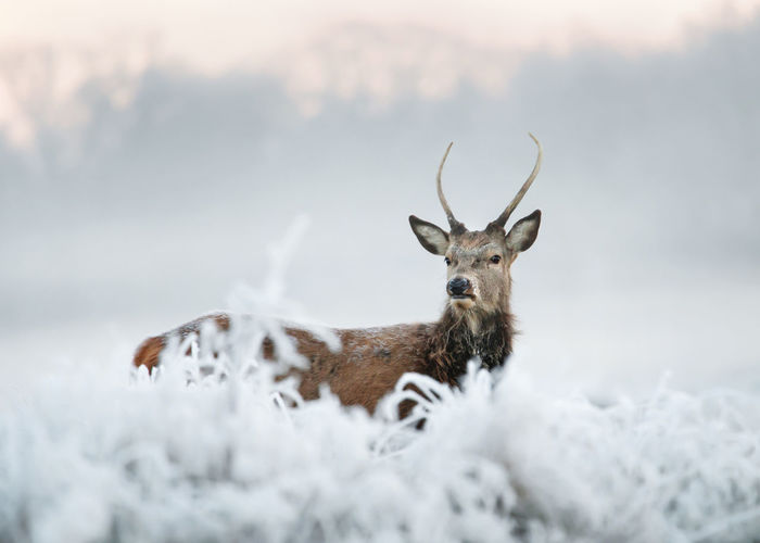 Portrait of deer on snow covered land