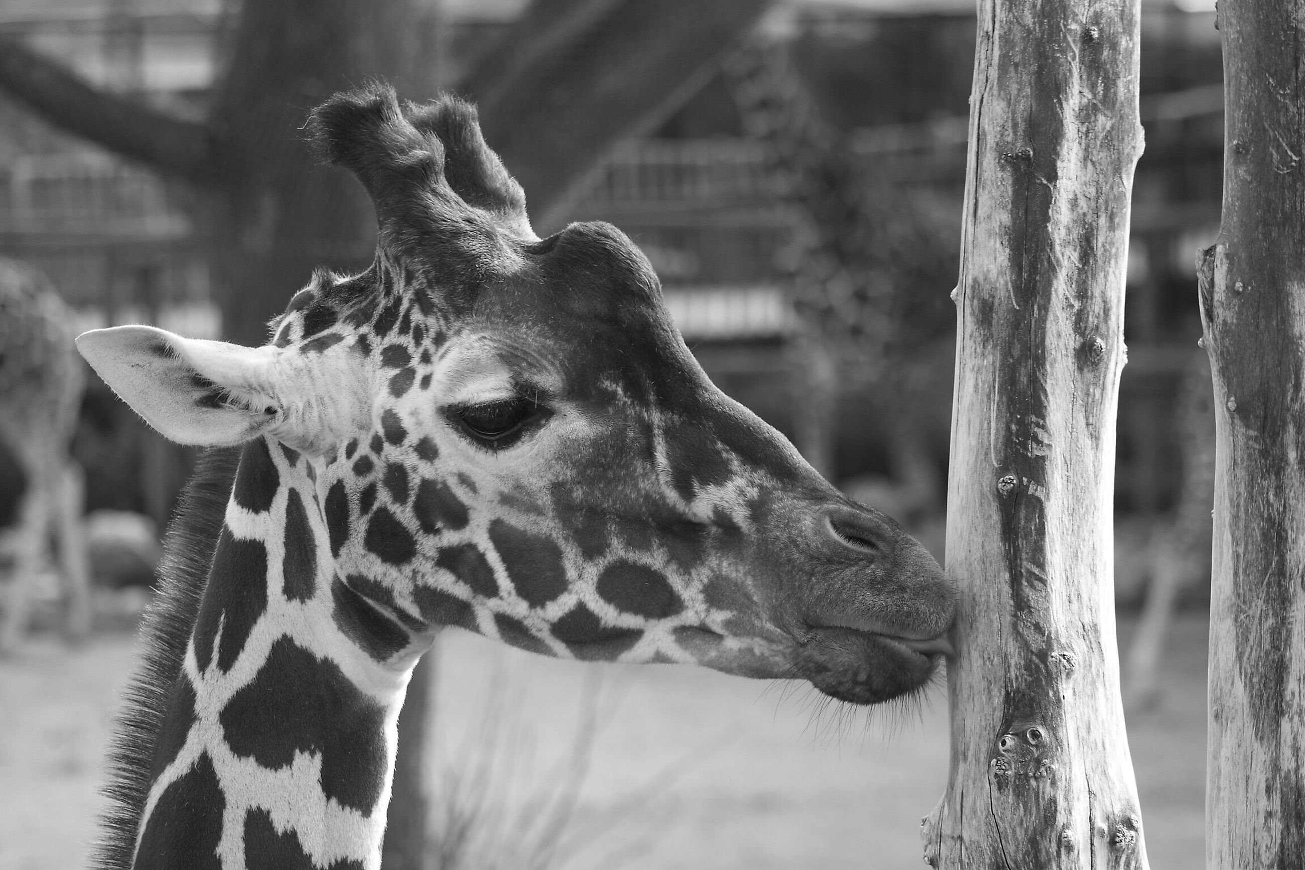 animal themes, one animal, mammal, focus on foreground, giraffe, animal head, animal wildlife, animals in the wild, no people, close-up, day, outdoors, nature, portrait